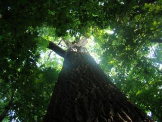 Дуб — дерево донор